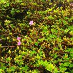 咲き始めたミヤマキリシマ