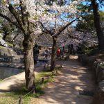 夙川沿いは満開の桜が