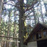 樹齢700年余の立派な高見杉