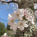 やっぱり、花は桜ですね