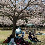 桜の下で暫しぼんやり