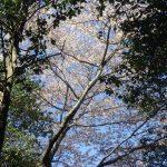 山桜の大木