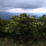 山頂付近のノリウツギ