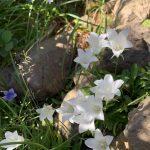 白と紫のイワキキョウ